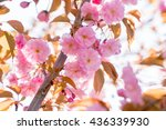 close up of the pink flowers of ... | Shutterstock . vector #436339930