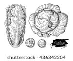 cabbage hand drawn vector...   Shutterstock .eps vector #436342204