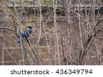 common grackle in branches | Shutterstock . vector #436349794