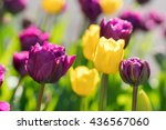 close up of purple or violet... | Shutterstock . vector #436567060