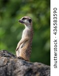 meerkat close up. | Shutterstock . vector #436583590