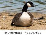 Canadian Goose  Kanada Gans  ...
