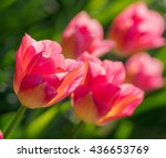 close up of beautiful red... | Shutterstock . vector #436653769
