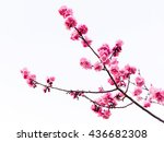pink cherry blossom or sakura... | Shutterstock . vector #436682308