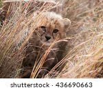 Cheetah Cub Looking Out From...