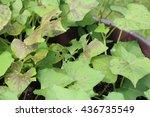 Brown Spots On Sweet Potato...
