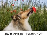 Cute Gold Rough Collie Sniffin...