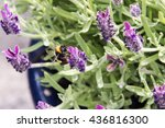 Bumble Bee On Lavender In Pot...
