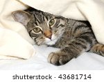 Stock photo cat under a blanket 43681714
