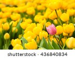 one pink tulip among many... | Shutterstock . vector #436840834