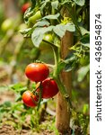 ripening tomatoes on vines in a ... | Shutterstock . vector #436854874