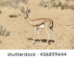 Small photo of Arabian Gazelle (Gazella gazelle cora) in the Al Maha desert of Dubai, United Arab Emirates