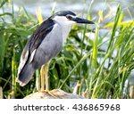 black crowned night heron  | Shutterstock . vector #436865968