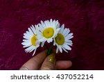 chamomile   Shutterstock . vector #437052214