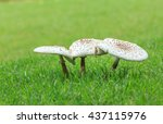 Toadstools In The Grass Green. ...