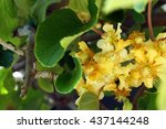 Small photo of Blooming actinidia (kiwi)