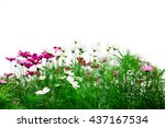 fresh flowers and green grass... | Shutterstock . vector #437167534