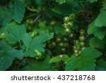 Green Berries Of Red Currant