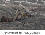 A Sleeping Iguana Rests On The...
