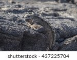 Galapagos Iguana With Its...