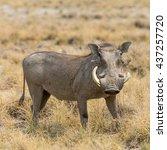 Portrait Of A Warthog  Seen In...