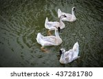 Geese  Goose Swimming In A...