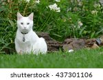 Stock photo white cat on grass 437301106