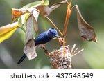 black naped monarch  hypothymis ... | Shutterstock . vector #437548549