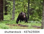 brown bear walking in the forest | Shutterstock . vector #437625004
