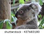 koala  phascolarctos cinereus ... | Shutterstock . vector #437683180