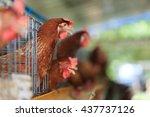 the layer breeder chicken farm | Shutterstock . vector #437737126