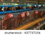the layer breeder chicken farm | Shutterstock . vector #437737156