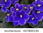 african violet flowers ...