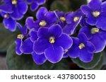 African Violet Flowers ...