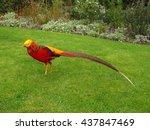 Golden Pheasant Chinese...