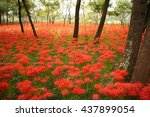 forest of red spider lilies | Shutterstock . vector #437899054