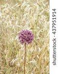 Small photo of Allium ampeloprasum flowers in field Majorca Spain
