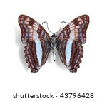 Small photo of Adelpha cocala (underside)