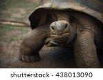 Giant Seychelles  Tortoise...