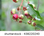 Small photo of Pretty red fruits of Amelanchier canadensis (June-berry in Japanese)