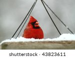 Hungry Male Cardinal Eating At...