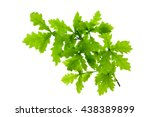 Green Oak Leaves Isolated On...
