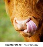 Close Up The Nose Of Shaggy Calf