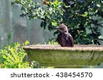 Young Starling Bathing In A...