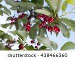 sour cherry  | Shutterstock . vector #438466360