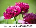 Large Flower Of Poppy  Called ...