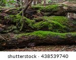 Thick Green Moss Grows On Logs...
