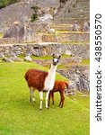 lhamas in machu picchu  a 15th... | Shutterstock . vector #438550570