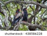 Small photo of Bateleur eagle in Kruger national park, South Africa ; Specie Terathopius ecaudatus family of Accipitridae