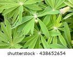 lupine young green flower... | Shutterstock . vector #438652654